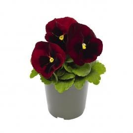 Pansy  Inspire® DeluXXe™ Red Blotch