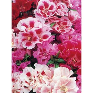 GODETIA TALL DOUBLE MIX
