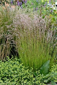Deschampsia flexuosa Ornamental Grass