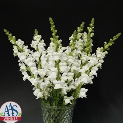 Gardening flower seeds rocket white snapdragon for rs 9000 sky rocket white snapdragon mightylinksfo