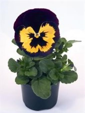pansy  Inspire® Violet & Yellow