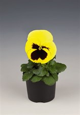 pansy Inspire® Lemon Blotch