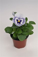 pansy  Inspire® Blue Angel