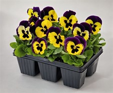 pansy Inspire® Plus Yellow Purple Wing