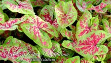 Raspberry Moon Caladium Bulbs