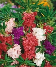 BALSAM DWARF BUSH  MIX