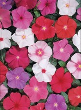VINCA ROSEA DWARF LITTLE SERIES