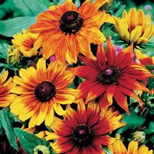 HIRTA GLORIOSA DAISIES MIXED