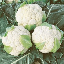 CAULIFLOWER F1  Early