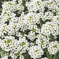 Easter Bonnet White Alyssum