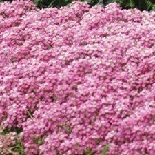 Easter Bonnet Deep Pink Alyssum