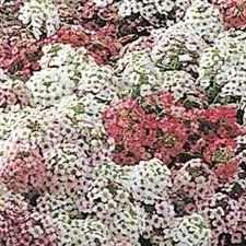 Easter Bonnet Pastel Mix Alyssum