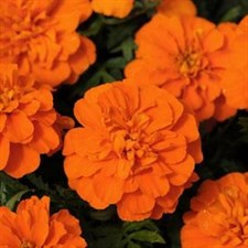 Bonanza Deep Orange French Marigold f1