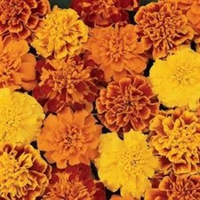 Bonanza Mix French Marigold F1