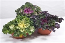 Flowering Kale Nagoya F1