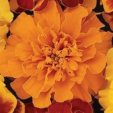 French Marigold Bonanza F1 DEAP  Orange