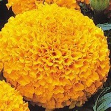 Marigold F1 Marvel Orange African Double Dwarf