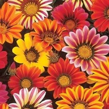Gazania Sunshine F1 Hybrid  Mixed
