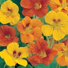 Nasturtium Tom Thumb Singal Mixed