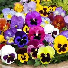 Viola - Pansy Swiss Giants Mix (OP SEEDS)