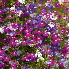 Mix Palace Edging Lobelia