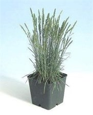 Ornamental Grass KOELERIA glauca 'Coolio'