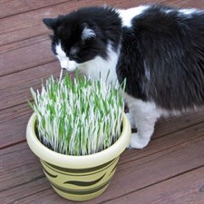 Cat grass - Variegated