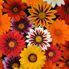 New Day® Mixture Improved Gazania