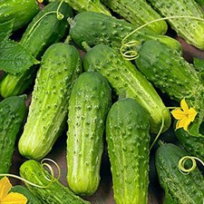 Heirloom cucumbers ,Boston Pickling