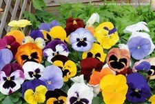 Pansy Majestic Giants ll