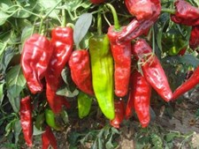 Hot pepper  bss 919  hybrid  F1