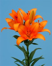 LILIUM Asiatic Lily Bulbs  Orange
