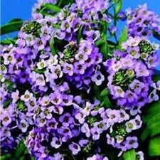Easter Bonnet blue Alyssum