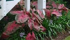 Fireworks Caladium Bulbs
