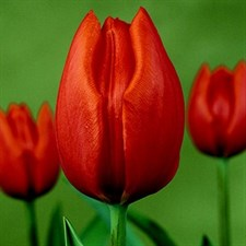Tulip,Bulbs    hotspot  6  bulbs deal