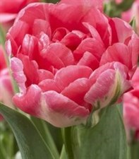 tulips jamai  6 bulbs deal