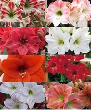 THE ROYAL DUTCH SINGLE AMARYLLIS MIXTURE 5 BULBS DEAL