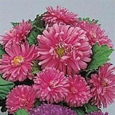 Aster PINK F1  Pot & Patio