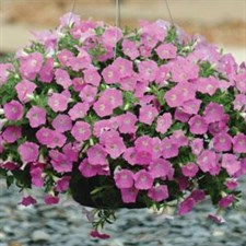 Shock Wave® Pink Shade Spreading Petunia