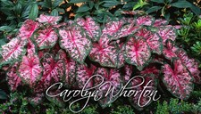 Carolyn Whorton Caladium Bulbs